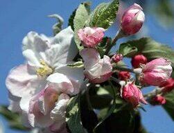GWL Hoogstamfruitbomen